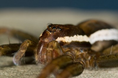 One theory suggests female raft spiders kill their suitors because they have a 'spillover' of aggression. Credit: The University of Melbourne