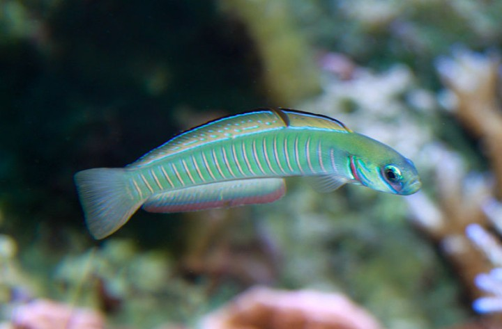 Fish have really simple brain and behavioural repertoire, which made scientists think they do not have emotions nor consciousness. However, now scientists are questioning this view after observing evidence of emotional fever. Image credit: Brian Gratwicke via Flickr, CC BY 2.0