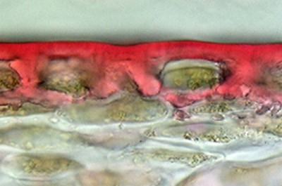 A cross section of the surface of a ripe tomato fruit, with its thick cuticle 'skin' stained in red. Credit: Cornell University