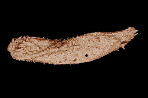 Details of the Eokinorhynchus rarus fossil, only a few millimeters in length, can be seen in this electron microscopic image. More than 530 million years old, the ancient worm was found in South China and is closely related to the ancestor of modern animal phylum kinorhyncha.