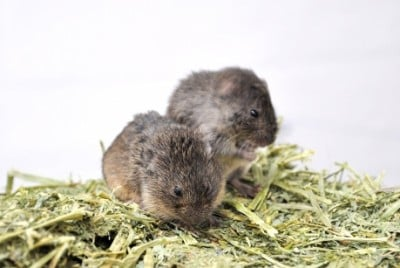 Male prairie voles with poor spatial memory are more likely to cheat on their mates, and both environmental factors and genetic predispositions explain why. Credit: Cornell University