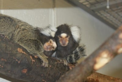 Cuddling and grooming are important activities for marmosets such as these at the Wisconsin National Primate Research Center. Cuddling, and especially grooming, strengthen pair bonding, physical intimacy and successful mating. Image credit: J. Lenon/Wisconsin National Primate Research Center