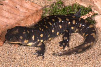 Scientists use the tiger salamander to investigate the stresses that early tetrapods experienced as they moved from water to land. Image credit: Todd Pierson
