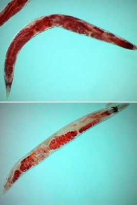 Top: Red dye marks lipids in the soma of a normal worm. Bottom: concentrated in the germline of a worm under stress. Photo courtesy of Sean Curran