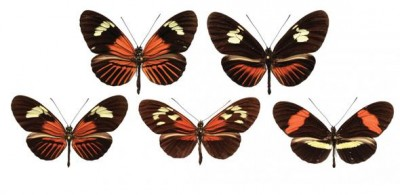 A range of wing patterns across Heleconius butterfly species. Credit: Jiggins group