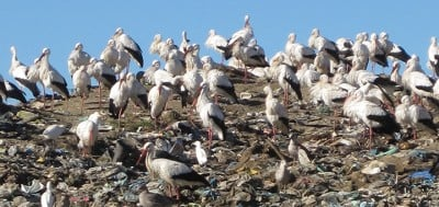 Resident and wintering white storks on a landfill site in Portugal. Credit: UEA