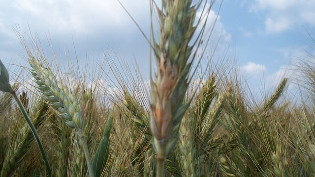 Triticale is extremely important feed crop with high potential for bioethanol production. Although it has been praised as very resistant, now mildew managed to adapt itself to attack it too. Image credit: Agronom via Wikimedia, CC BY-SA 3.0