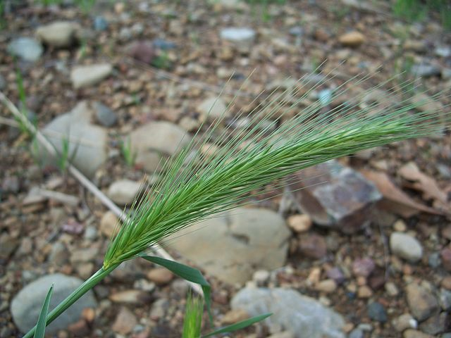 Barley is one of the food crops that are mostly tolerant to high levels of boric acid in soils. By developing better and more resilient plants, farmers could increase their yields and nutrition value of food crops. Image credit: EugeneZelenko via Wikimedia, GFDL