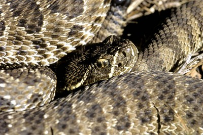 A new analysis found that some subspecies of the western rattlesnake actually may be separate species. Photo credit: Bryan Safrantowich