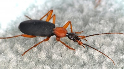Ground beetles, such as this false bombardier beetle (Galerita sp.), are happy out in nature, but will often wander into homes and roam around looking for prey (or a way to make it back outside). Image credit: Matt Bertone