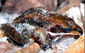 How do wood frogs survive being frozen in winter? By living under the snow surface. Image credit: Jan Storey