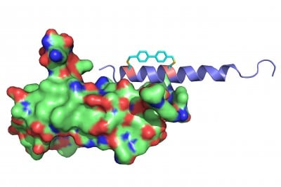 Scientists at the University at Buffalo and California Institute for Biomedical Research are developing a diabetes therapy based on a modified version of the hormone oxyntomodulin. In this illustration, the modified hormone (top) binds to a glucagon-like peptide-1 receptor (bottom). A chemical linker (top, in turquoise) helps the molecule keeps its helical shape — an innovation that could improve the potential treatment's effectiveness. Image credit: Yulin Tian