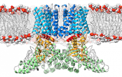 A ribbon diagram depicting the structure of the TRPV2 ion channel (blue, yellow, green) as it lies embedded in the cell membrane (orange and white). This ion channel is a temperature sensor involved in the perception of pain and heat, and therapies targeting it could one day alleviate suffering in people afflicted with chronic pain. Photo credit: Mark A. Herzik Jr., Scripps Research Institute