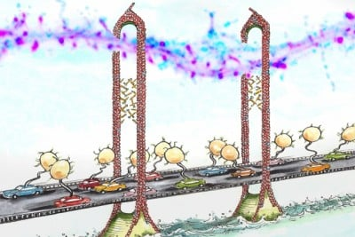 "MIT neuroscientists discovered that the protein CPG2 connects the cytoskeleton (represented by the scaffold of the bridge) and the endocytic machinery (represented by the cars) during the reabsorption of glutamate receptors. Each ""car"" on the ""bridge"" carries a vesicle containing glutamate receptors. Image credit: Mark Steele"