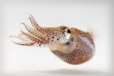 UConn researchers are studying bacteria living inside the Hawaiian bobtail squid in the search for new drugs to fight pathogens in humans. Image credit: Mattias Ormestad