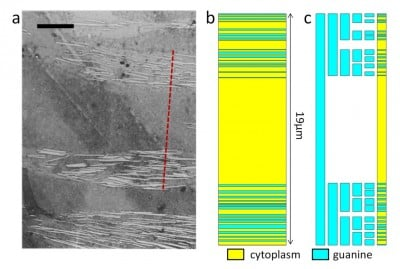 The transmission electron microscopy (TEM) image (a) shows a cross section of ribbonfish skin (scale bar, 5 mm). Figure (b) illustrates a superlattice of cytoplasm and guanine crystal layers matching the dashed red line in (a). Figure (c) illustrate a five-stage Cantor bar. Changes introduced into the fractal lead to a pattern that resembles the superlattice in Figure (b). Image credit: Douglas Werner lab / Penn State
