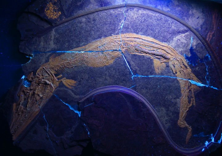 The fossilized food remains of the extinct predatory fish Saurichthys revealed the spiral shape of its intestine. This helped scientists to close a gap in the knowledge about the evolution of the gastrointestinal tract in vertebrates. Image credit: mediadesk.uzh.ch.