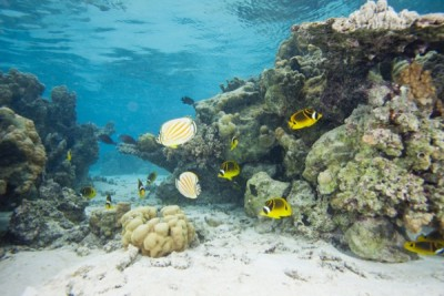 Butterflyfishes are avoiding coral that has come in contact with seaweed, according to UD researchers.