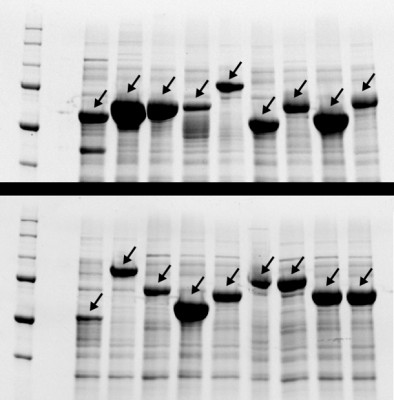 After swapping pieces of genetic code in repeating protein recipes, researchers were able to scramble them enough to be commercially synthesized. The dark bands are indicators of 18 repeating polypeptides successfully being fabricated. Image credit: Duke University