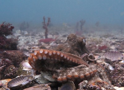An octopus from the study site. Credit: Professor Peter Godfrey-Smith