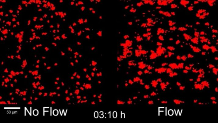 Researchers at Princeton University explored the effect of fluid flow on bacterial communication, or quorum sensing, which the single-celled organisms use when blocking pathways such as intestines, medical stents and wastewater pipes. An understanding of how bacteria communicate and act collectively could lead to new ways to stop disease and prevent blockages. (Films courtesy of Minyoung Kevin Kim et al.)