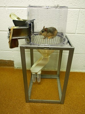 A desert woodrat in a metabolism cage at the University of Utah. The cage allows researchers to measure how much food and water the rat consumes and how much waste it produces. Image credit: Kevin Kohl, University of Utah