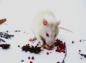 A rat with several of the 100 common household spices used to test odor memory in the study. Image credit: Indiana University