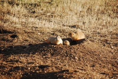 Black-tailed prairie dogs are ground-dwelling rodents in Colorado and other North American plains states. They are susceptible to large-scale plague outbreaks. Image credit: Dan Salkeld/Colorado State University