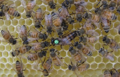 If a worker behaves altruistically and helps rear her sisters' offspring, she will ensure that her matrigenes -- those genes she inherits from her queen mother -- are passed on to the next generation. This image shows honey bee workers caring for their queen mother by grooming her. Image credit: Courtesy David Galbraith / Penn State