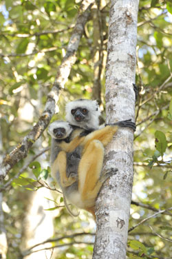 A diademed sifaka lemur perches on a tree trunk with her infant in Andasibe-Mantadia National Park, Madagascar. Researchers are using RNA sequencing to identify emerging infectious diseases in lemurs that standard diagnostic tests cannot detect. The technique could pave the way for earlier, more accurate detection of diseases that move between animals and people. Photo credit: David Haring, Duke Lemur Center