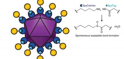 Diagram of a viral vectored vaccine built using the SpyCatcher/ Tag combination. SpyCatcher (dark blue) is fused to the virus-like particle (purple). SpyTag (light blue) is fused to antigens (yellow). When SpyTag forms an isopeptide bond with SpyCatcher (diagram right), the antigens are attached to the virus-like particle. Image credit: Nature Scientific Reports