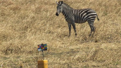 A zebra grazing on the grassy plains gazes at the researchers' chart used for color-calibrating images. Photo credit: Tim Caro/UC Davis