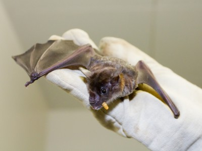 Small pale spear-nosed bats (Phyllostomus discolor) with a meal worm. The animal adapts its echolocation calls to the surrounding noise level. Image credit: MPI f. Ornithology