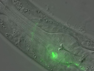 Lasting impressions: A segment of a C. elegans worm with a RIM neuron shown in green. The scientists showed that this neuron produces a learning signal that makes the newly hatched worm able to remember an olfactory experience for the rest of its life.