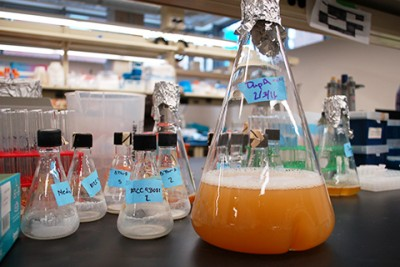 In the lab, researchers use engineered bacteria to brew green chemicals that can be used in a wide range of useful products. Image credit: University of Minnesota