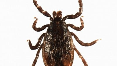 Understanding the genomic sequence of the tick that causes Lyme disease, Ixodes scapularis, can help researchers develop repellents and control measures. Photo courtesy of Anirudh Dhammi, NC State University.