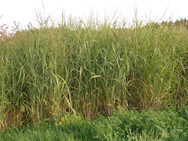 A switchgrass plot grown as part of an Argonne National Laboratory-led study to test how genetic variation within the switchgrass species affects growth. Researchers found that mixing genetic varieties from different geographical regions promotes overall crop growth.