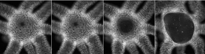 This sequence of photos shows how Hydra can rapidly open its mouth to its fullest extent after only 13 seconds. Image credit: UC San Diego
