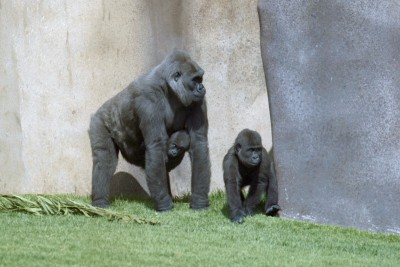 Jim, right, whose Y chromosome was sequenced, together with Dolly, his mother, and Binti, his sister. Image credit: San Diego Zoo Global