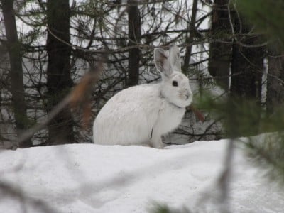 The snowshoe hare is an emblematic species of the north country, adapted to and dependent on a snowy climate. A recent study by UW–Madison researchers shows the southern boundary of the snowshoe hare's range shifting north as climate warms. Image credit: L. Scott Mills