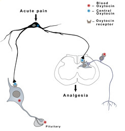 Oxycotin is produced in the brain and released via the pituitary gland into the blood (left path). Researchers have now discovered that the hormone is also distributed in the spinal cord, where it may have analgesic effects (right path). Image credit:  MPG/modified after Eliava et al., 2016