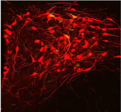 A small group of oxytocin producing neurons (red) coordinates the release of oxytocin via blood and the spinal cord. Image credit: Eliava et al., 2016