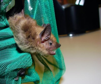 In experiments, big brown bats showed they don't suffer a temporary loss of hearing sensitivity amid the intense noise in which they live. Image credit: Matt Reinbold via Flickr
