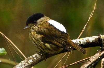 Photo of a male Broadbill (Rufous-sided Broadbill). Image credit: Alex Kirschel
