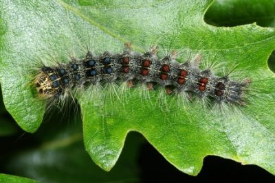 A gypsy moth larvae. These caterpillars are a devastating forest pest that feed on hundreds of plants species but prefer oaks and aspen and are especially concentrated in the northeastern United States. Photo credit: Gyorgy Csoka
