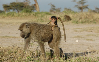 A four-month-old infant baboon rides on its mother's back in Amboseli, Kenya. Image credit: Susan Alberts