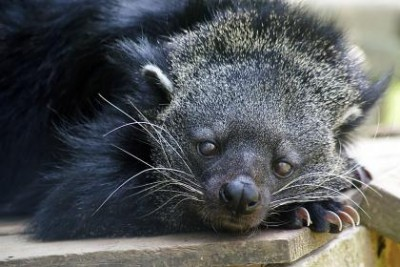The binturong, or bearcat, is neither a bear nor a cat, but a shy member of the civet family that lives in the rainforests of Southeast Asia. Binturongs owe their popcorn-like scent to a chemical compound in their urine that also happens to be the major aroma compound in toasted bread and cooked rice. Photo courtesy of Carolina Tiger Rescue.