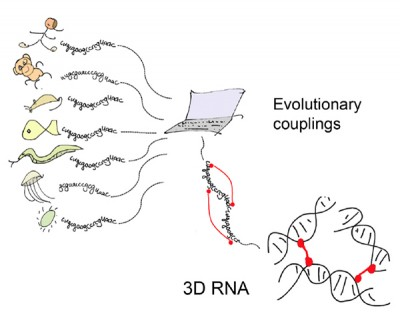 By comparing RNA sequences across thousands of species, scientists have found a way to easily predict whether and how individual RNA molecules fold onto themselves to form three-dimensional shapes, providing clues about their function. Image credit: Debora Marks/courtesy Cell Press