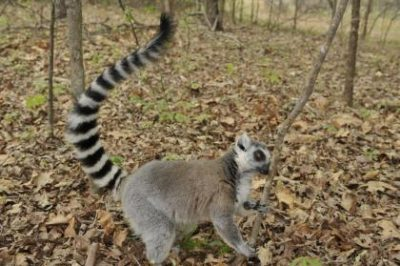 A male ring-tailed lemur stops to sniff the scent of another lemur. Lemur males mix and match their smelly secretions to make richer, longer-lasting scents and outstink their rivals, researchers report. Photo by David Haring, Duke Lemur Center