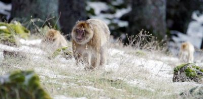 Barbary Macaques in their natural habitat of the Atlas Mountains. Credit: NHK photo by Michael J. Sanderson/Ateles Films